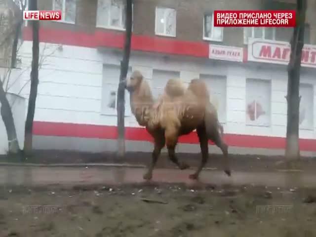 В Уфе медведь и верблюд сбежали из зоопарка