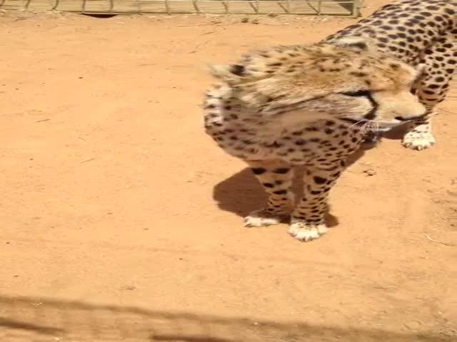 Мяукающий гепард