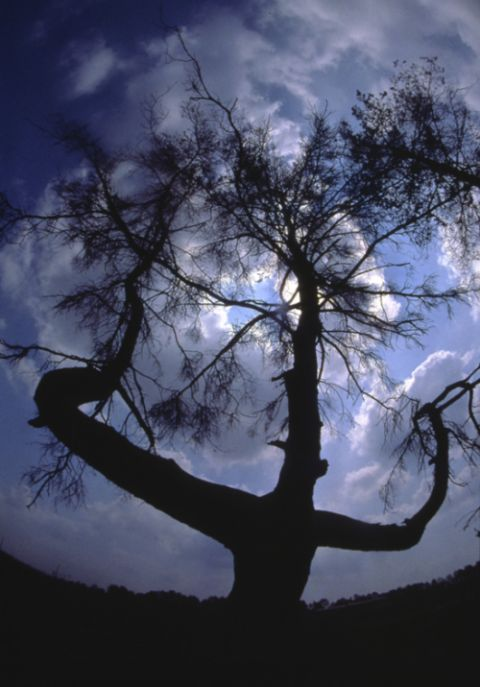 Дерево смерти в зоне отчуждения Чернобыльской АЭС (3 фото)