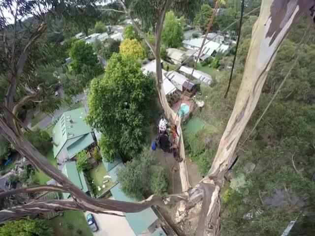Обрезка 40-метрового дерева