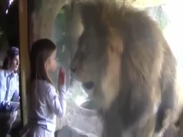 Необычная реакция льва на поцелуй