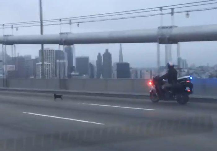 В Сан-Франциско полиция перекрыла мост ради поимки чихуахуа (фото + 2 видео)
