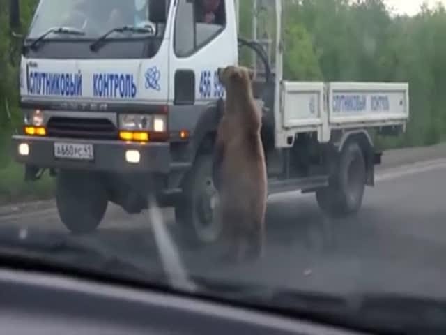 Медведь выпрашивает еду у автомобилистов