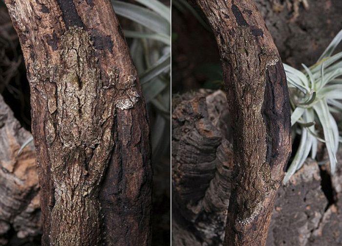 Геккон - мастер маскировки (4 фото)