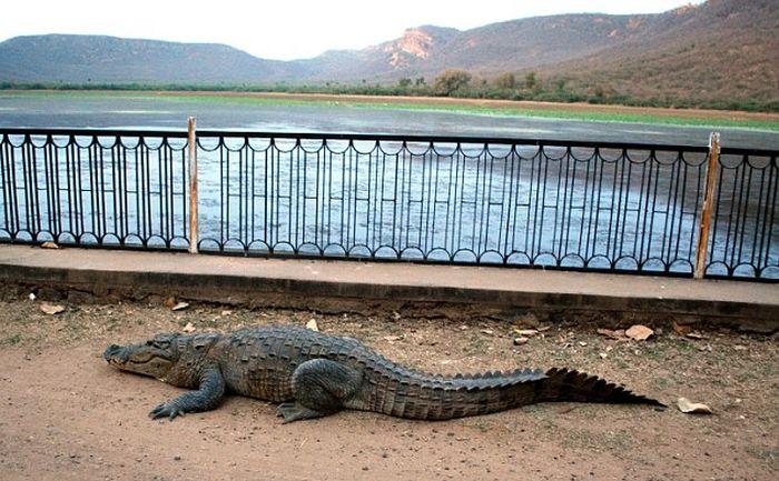 Крокодил перелез через ограждение (5 фото)