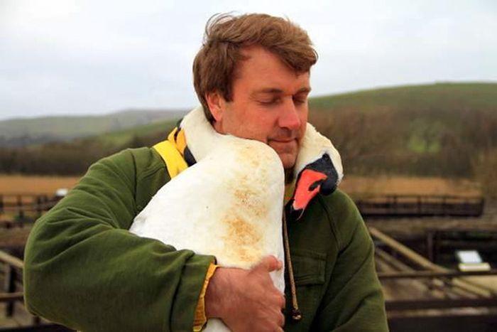 Спасенный лебедь обнял своего спасителя (5 фото)