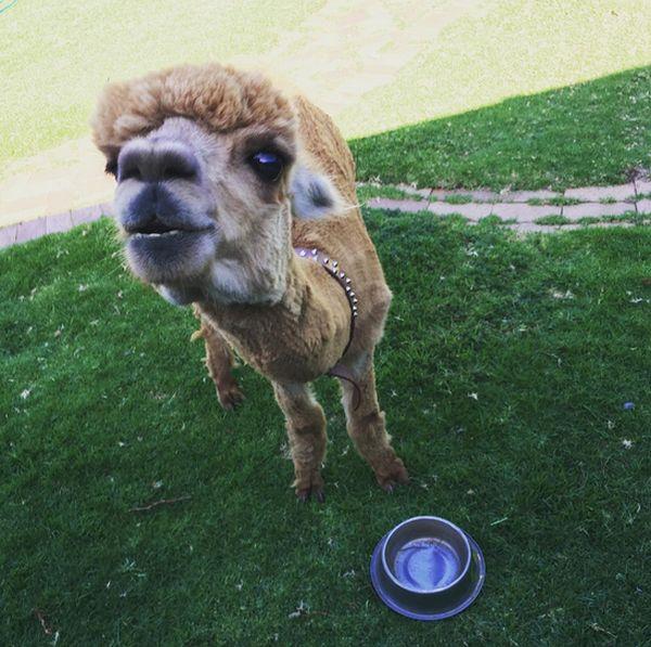 Альпака - необычное домашнее животное (13 фото + видео)