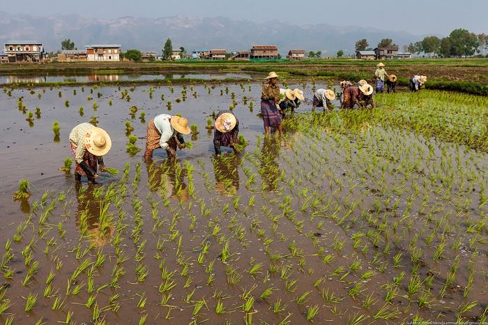 Выращивание овощей на озерах Мьянмы (32 фото)