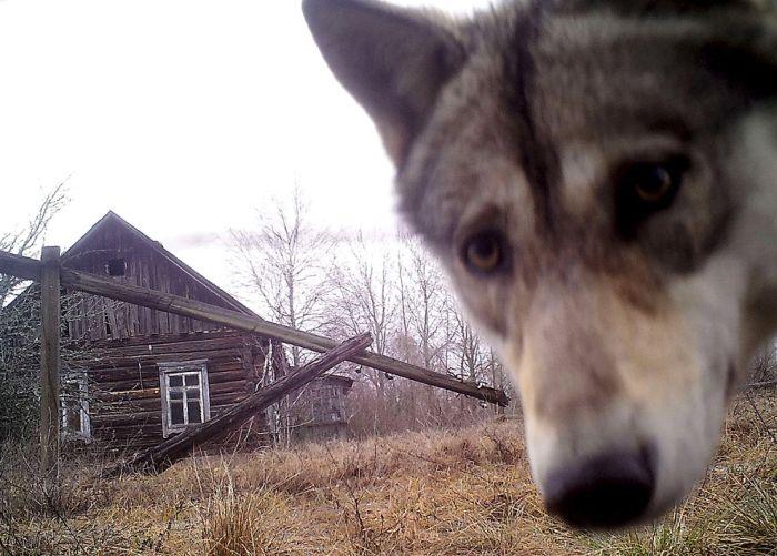 Животный мир зоны отчуждения Чернобыльской АЭС (15 фото)
