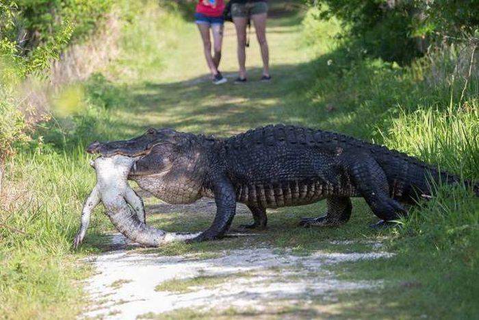 Обычное явление в мире крокодилов (5 фото)