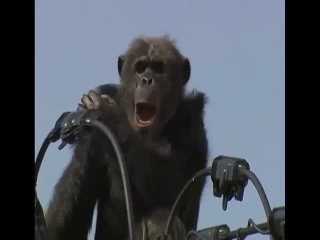 В Японии шимпанзе оставил без света 1800 домов