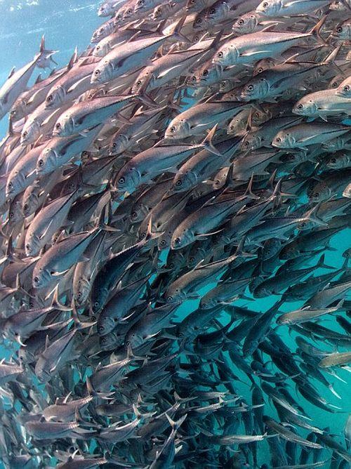 Подводное рыбье торнадо (7 фото)