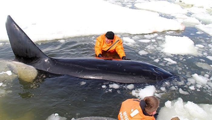 На Сахалине в Охотском море спасли зажатую во льдах косатку (5 фото + видео)