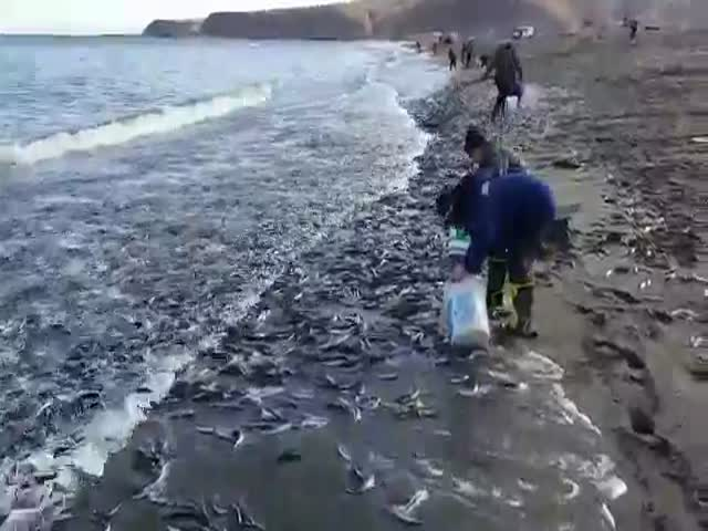 Массовый выброс мойвы на Сахалине