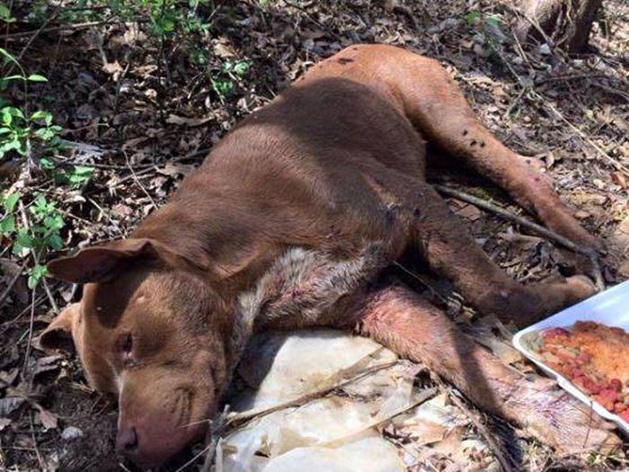 Спасение питбуля, которого оставили умирать в лесу (7 фото)