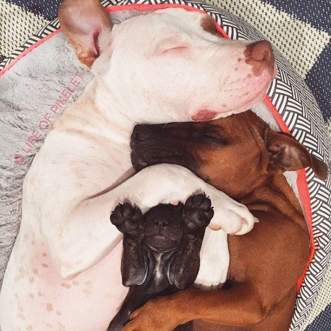 Взрослые собаки приютили спасенного щенка