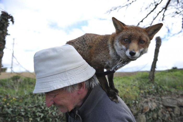 Житель Ирландии спас и приручил двух маленьких лисят (10 фото)