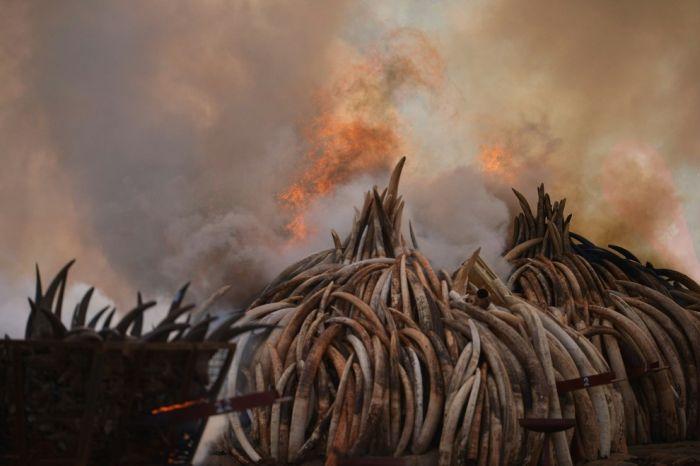 В Кении сожгли 100 тонн слоновой кости на сотни миллионов долларов (7 фото)