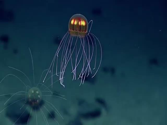 В Марианской впадине обнаружили новый вид медуз