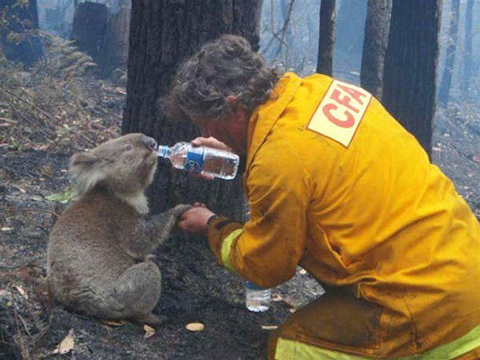 Животные, спасенные австралийскими пожарными (30 фото)