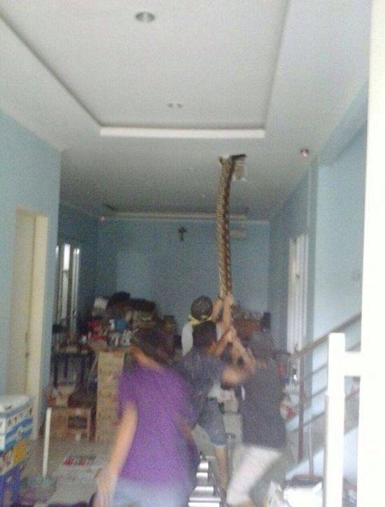 Попытка вытащить огромного питона из дома пошла не по плану (3 фото)
