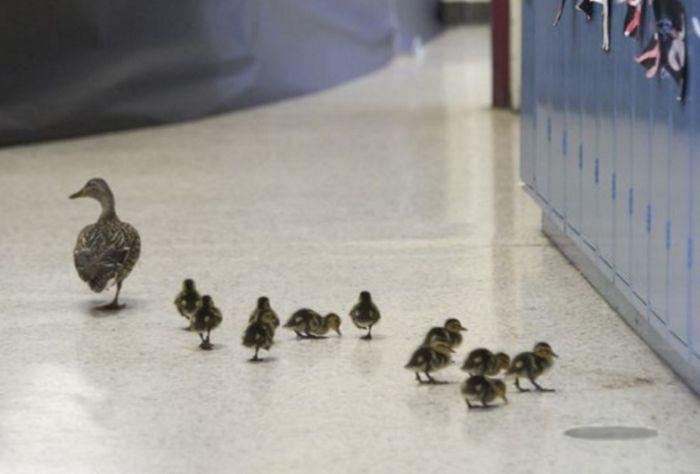 Каждый год американская школа приостанавливает работу ради одной и той же утки и ее утят (3 фото)