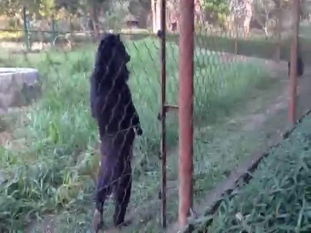 В Лаосе живет медведь, который свободно ходит на задних лапах