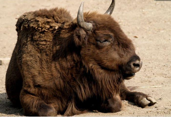 В зоопарке Ростова-на-Дону посетители насмерть закормили зубра мучными изделиями (2 фото)