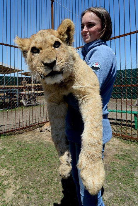 В зоопарке Приморья львенок подружился с котенком пумы (11 фото)