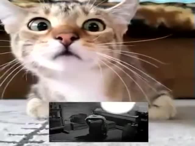Впечатлительный кот смотрит триллер «Психо»