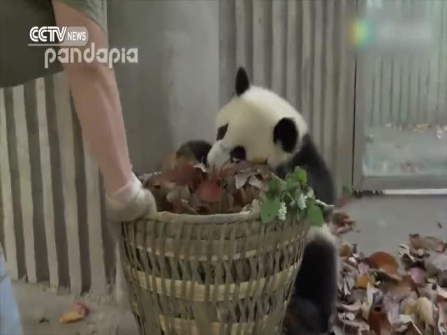 Игривые панды помешали уборщице собрать листья
