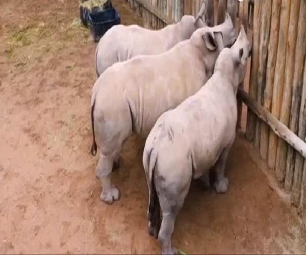 Детеныши носорога просят молоко