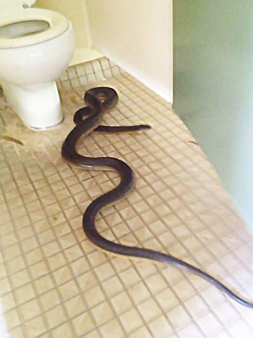 В Австралии незваный гость пробрался в женский туалет (4 фото)