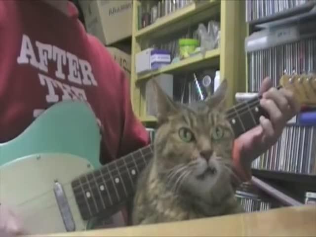 Кот пребывает в трансе от игры своего хозяина на гитаре