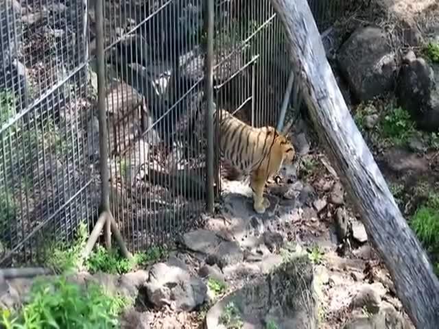Тигр Амур встретился со своей невестой Уссури