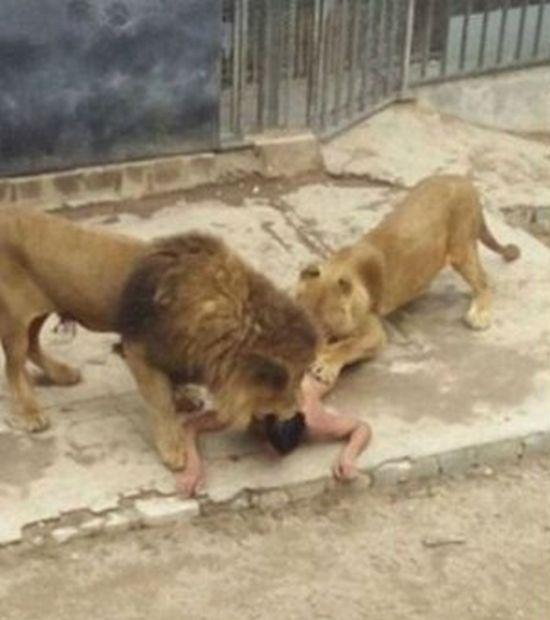 Чтобы спасти жизнь самоубийце в зоопарке Чили убили двух львов (4 фото)