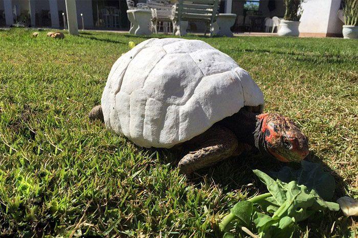 Черепаха получила напечатанный на 3D-принтере панцирь (7 фото)
