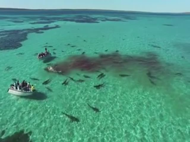 70 акул напали на кита