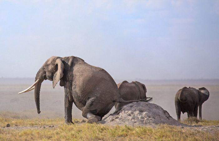 Находчивый слон избавляется от зуда (5 фото)