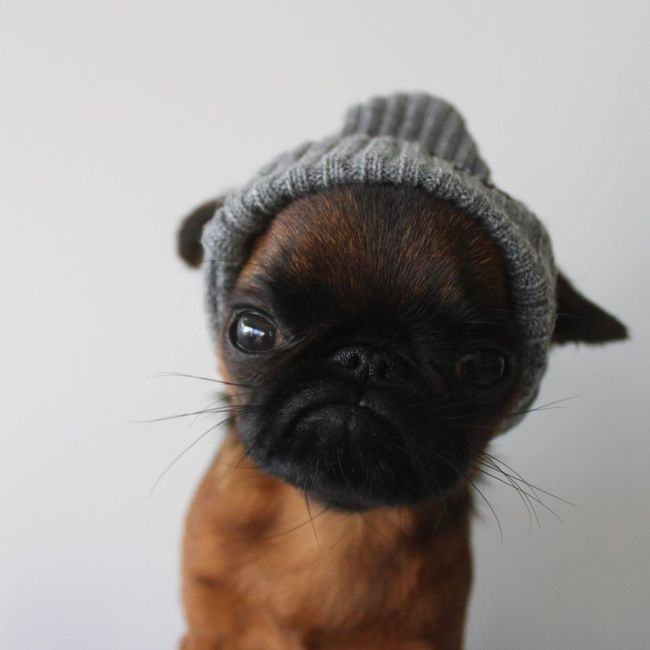 Самый недовольный пес в мире (10 фото)
