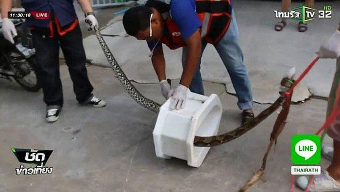 В Таиланде питон, забравшийся в унитаз, укусил мужчину за пенис (5 фото)