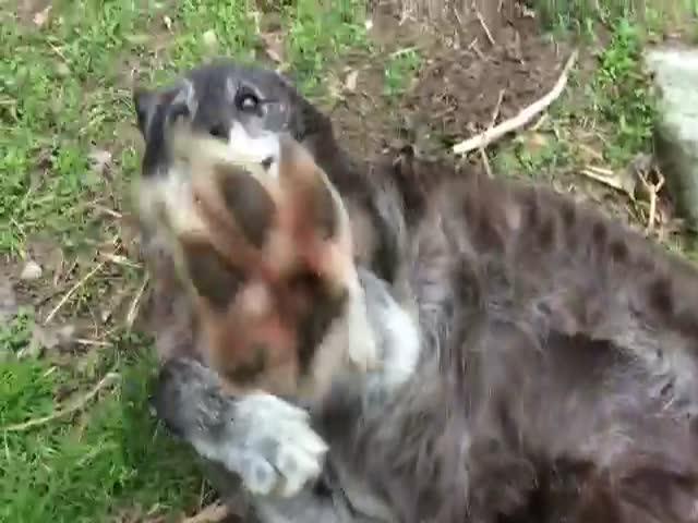 Ручная волчица, любящая ласку