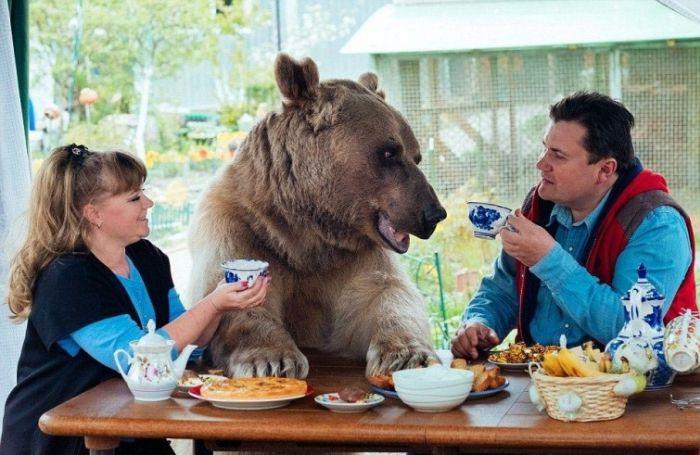 Взрослый медведь живет в семье своих спасителей (9 фото)