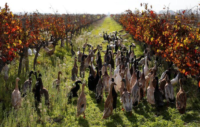 Утки, как средство борьбы с вредителями (7 фото)