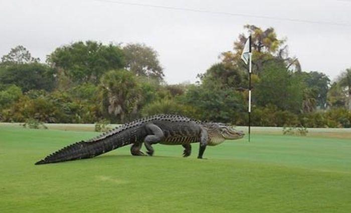 Во Флориде аллигатор прогулялся по полю для гольфа (2 фото + видео)