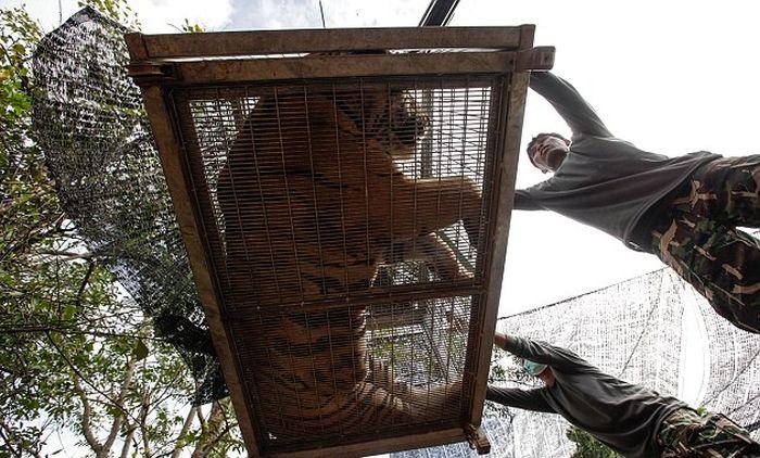 В таиландском «Тигрином храме» обнаружили замороженные тушки 40 тигрят (13 фото)