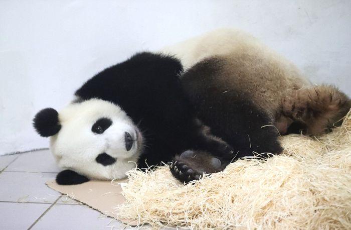 В бельгийском зоопарке у панды родился медвежонок (11 фото)