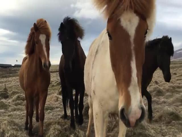 Любопытные дикие лошади в Исландии