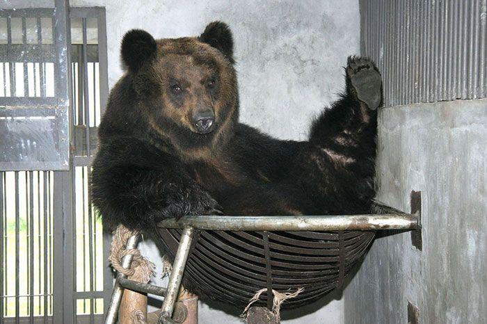 Медведь, спасенный с желчной фермы в Китае (8 фото)