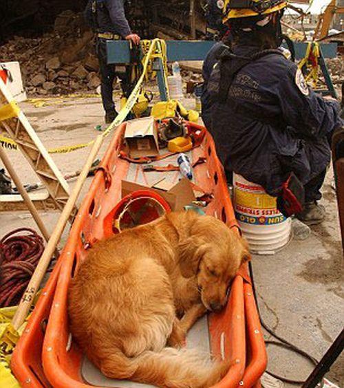 В США простились с последней собакой, искавшей жертв теракта 11 сентября 2001 года (10 фото)